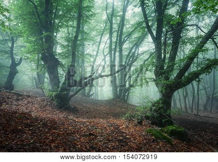Mystical Spring Forest In Fog. Old Trees In Clouds