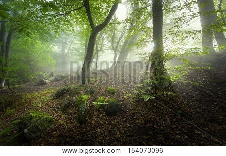 Mystical Spring Forest In Fog. Magical Old Trees In Clouds