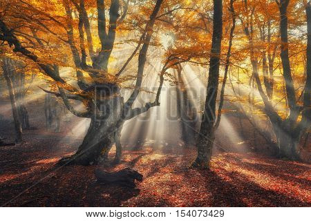 Autumn Forest In Fog With Sun Rays. Magical Old Trees