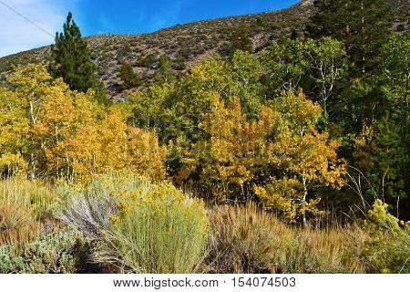 Sage Plant amongst quaking Aspen Trees changing colors during autumn foliage taken in the Sierra Nevada Mountains, CA