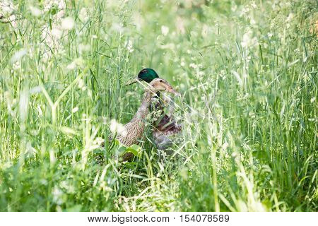 The Mallard Or Wild Duck - Anas Platyrhynchos