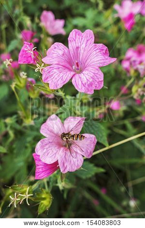 A wild geranium flower in ploom with another flower defocussed and being pollinated by an insect.