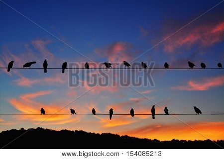 Rook (Corvus frugilegus) perched on power lines at sunset.