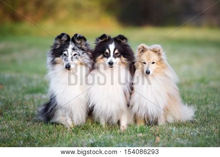 three sheltie dogs posing together outdoors in autumn