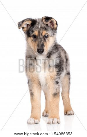 adorable mixed breed puppy posing on white