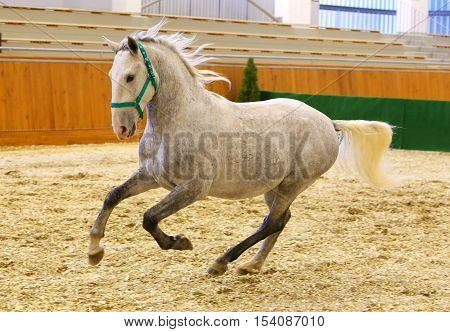 Grey Colored Youngster Lipizzan Horse Galloping In Riding Hall