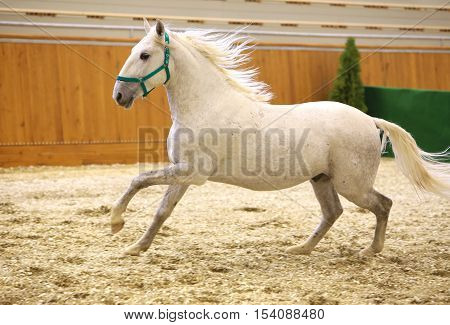 Elite lipizzan horse galloping across the arena