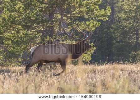 a big bull elk during the fall rut