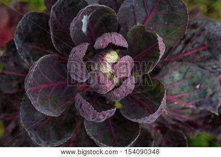 red cabbage growing in the garden in autumn