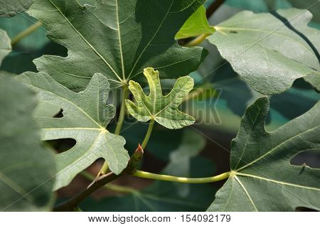 Small fig leaf surrounded with bigger ones in a garden in summer season