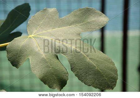Fresh fig leaf in a garden in summer season
