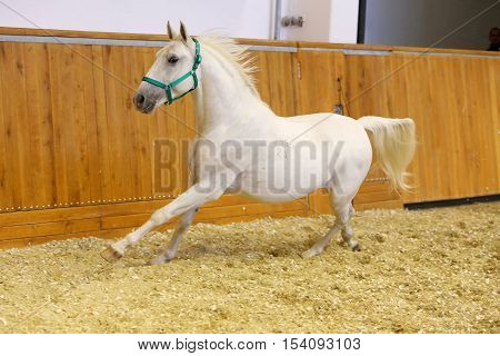 Beautiful purebred young lipizzan horse galloping across empty riding hall. Check out my other equine photos please