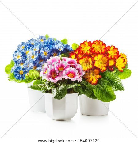 Spring flowers. Flowerpots with primrose primula flower isolated on white background clipping path included