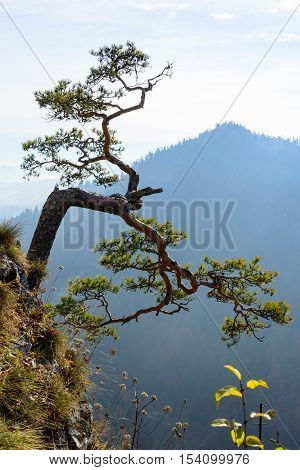 Very old relict pine in Pieniny mountains in Poland