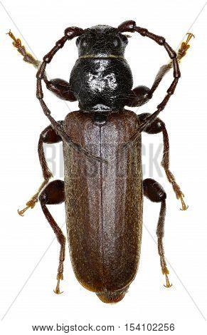 Black Spruce Longhorn Beetle on white Background - Tetropium castaneum (Linnaeus 1758 )