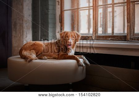dog lying on a leather pouffe at a wooden window. Nova Scotia Duck Tolling Retriever