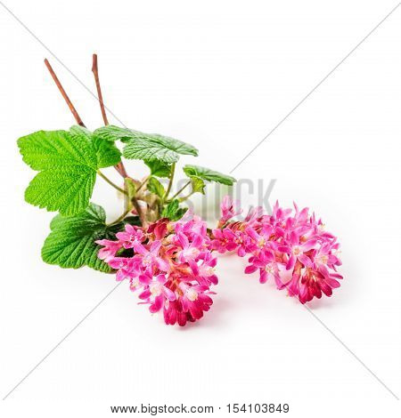 Flowering currant twig with pink flowers isolated on white background clipping path included. Ribes sanguineum plant