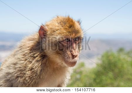 At the top of the Rock of Gibraltar is a large group of Barbary macaques. They steal food from tourists regularly. This ape has paused for a portrait after stealing a pack of cookies.
