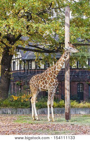 Reticulated Giraffe (giraffa Reticulata) In The Berlin Zoo