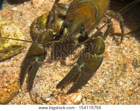 European Broad-fingered Crayfish