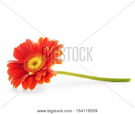 Gerbera daisy flower isolated on white background. Design element. Single object with clipping path