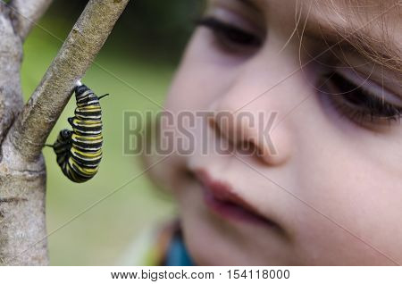 Girl looks at a monarch butterfly caterpillar begin chrysalis on June 18 2013.After it increase its mass about 2000 times it undergoes metamorphosis to become monarch butterfly