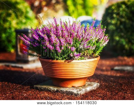 Autumn flowers at cemetery in Germany. Grave with pink heather in flower pot