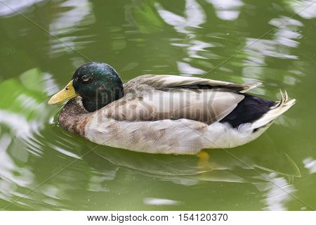 Image of male mallard ducks (Anas platyrhynchos) floating on the water.