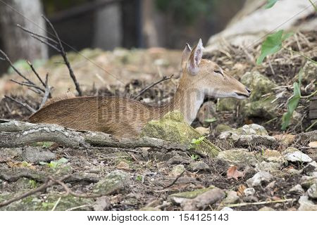 Image of young sambar deer relax on the ground.