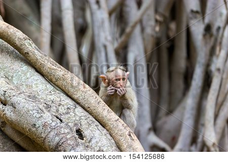 The bonnet macaque is a macaque endemic to southern India. Its distribution is limited by the Indian Ocean on three sides and the Godavari, Tapti Rivers along with a related species of rhesus macaque.