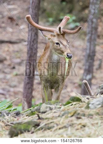 Image of young sambar deer on nature background.