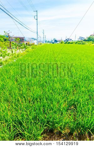 Rice Plants Growing Small Plot Land Japan Houses V
