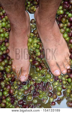 Mans feet squash hand-picked ripe red wine grapes during wine making process.Wine concept