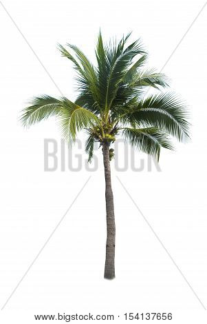 Coconut tree , an asian tree isolate on white backgrond