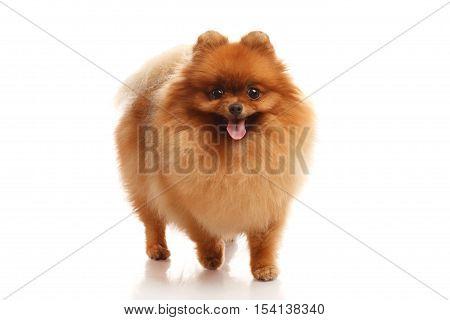 Pomeranian Spitz  dog on the white background