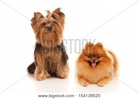 Two sweet dog -Yorkshire terrier and Pomeranian Spitz