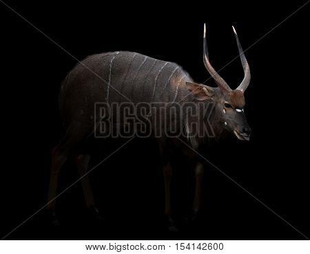Male Nyala Standing In The Dark