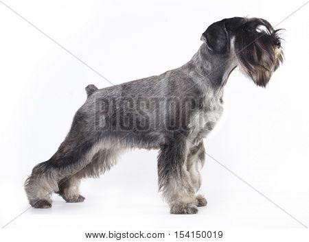 salt and pepper schnauzer dog posing