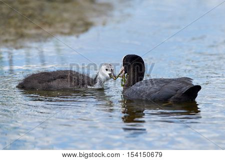 Eurasian coot (Fulica atra) feeding her young in their natural habitat