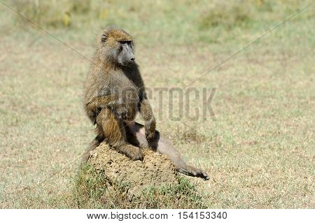 Baboon On Stone