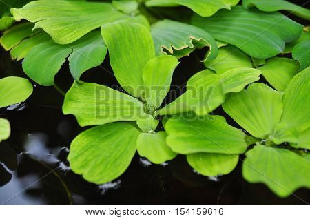 Green Duckweeds On Water In Asia