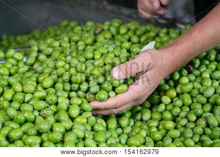 Fresh Harvested Green Olive for olive oil production