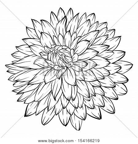 beautiful monochrome black and white dahlia flower isolated on background. for greeting cards and invitations of the wedding birthday Valentine's Day mother's day and other seasonal holiday