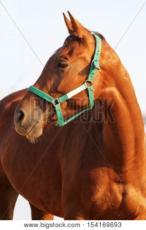Closeup of chestnut colored horse shows head and shoulders against white studio background. Check out my other equine photos please