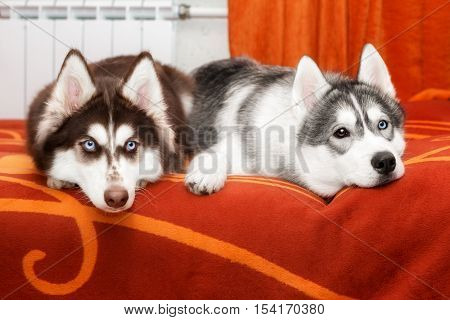 Two husky with blue eyes, are at home on the sofa