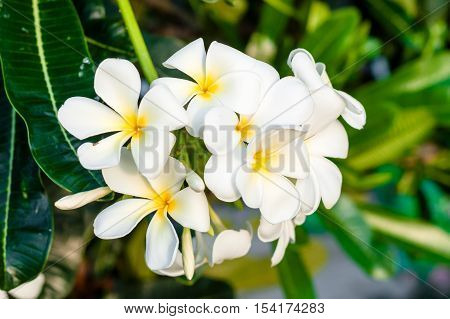 The Yellow And White Plumeria On The Plumeria Tree In Nature Background