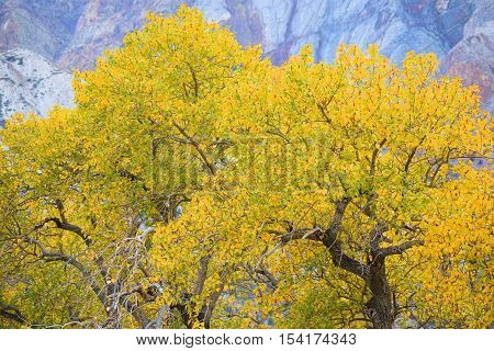 Cottonwood Trees changing colors during autumn foliage with mountains beyond taken in the Sierra Nevada Mountains, CA