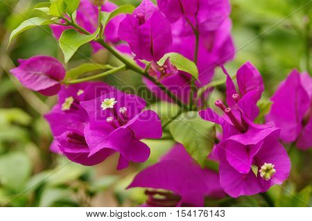 Bougainvillea flowers in rainforest, close-up, macro, view. poster