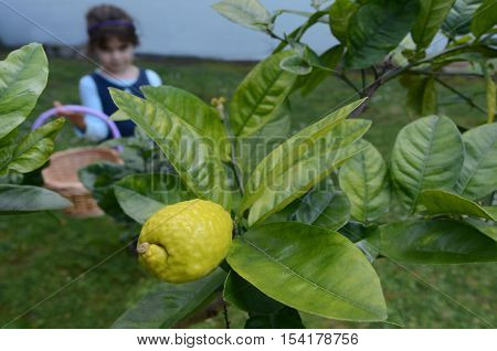 Jewish girl picking a fresh Citron Etrog from on a tree