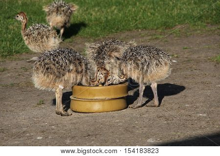 Small ostrich / Small ostrich at the trough